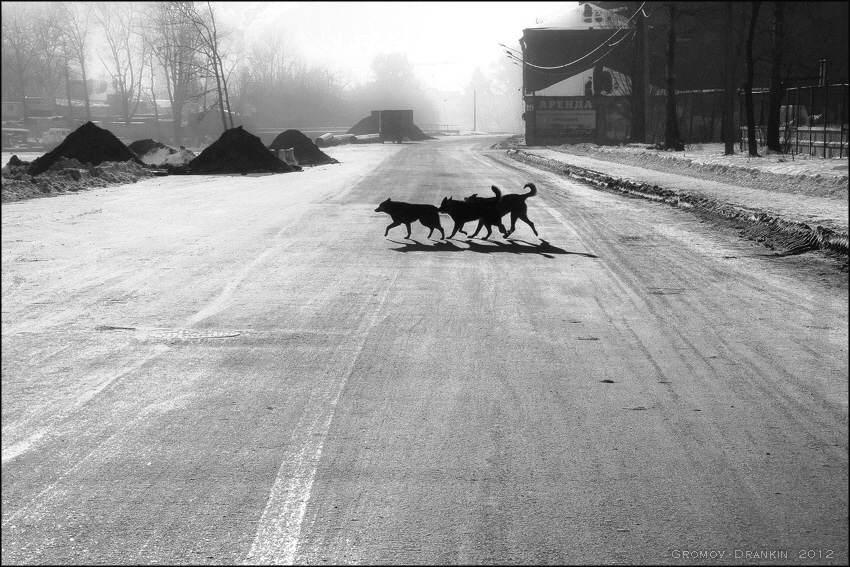 Dogs crossing road