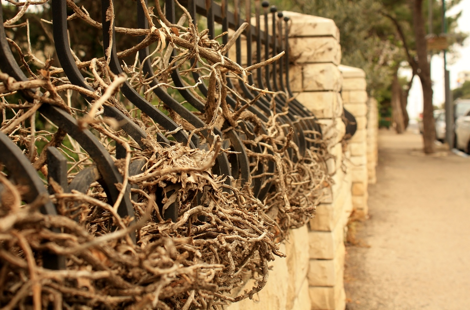 Iron fence strangled by roots